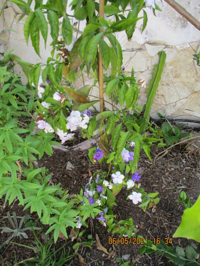 Brunfelsia pauciflora Diver154
