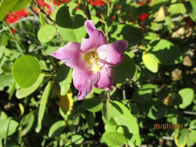 Lagunaria patersonia - Page 2 Diver156