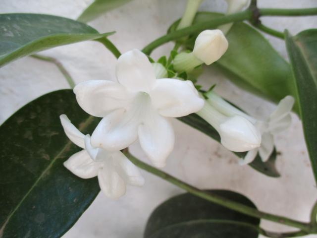 Stephanotis floribunda - jasmin de Madagascar - Page 2 Diver161