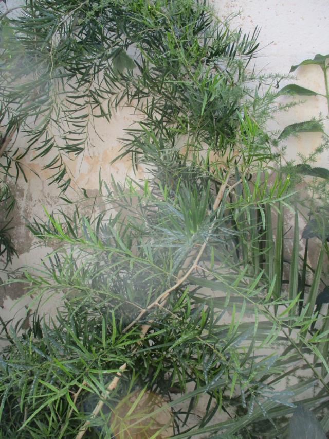 Asparagus falcatus  Diver163
