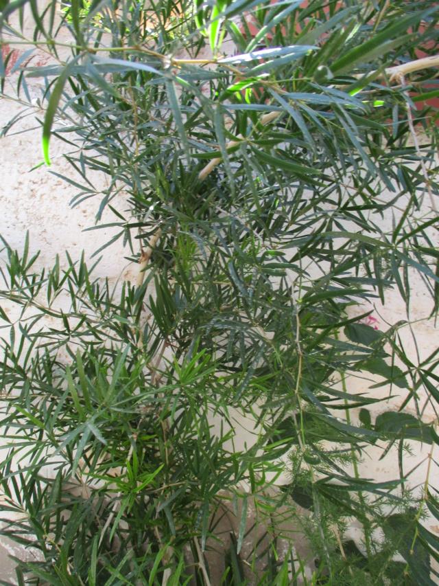 Asparagus falcatus  Diver164
