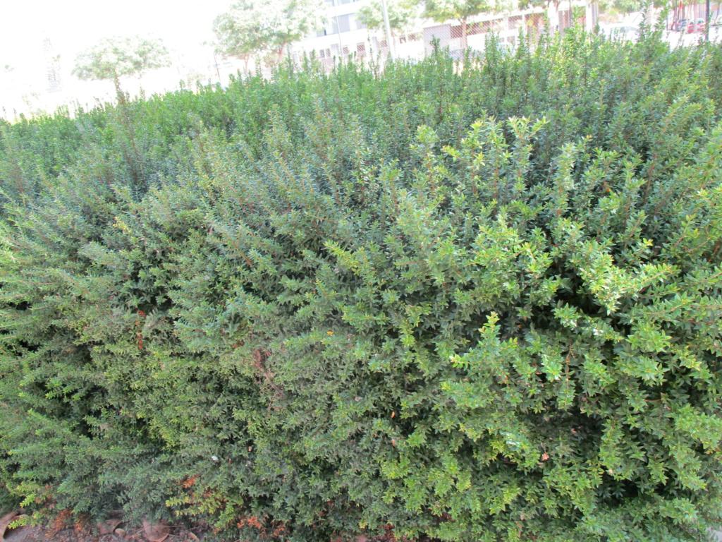 Identification arbuste Diver180