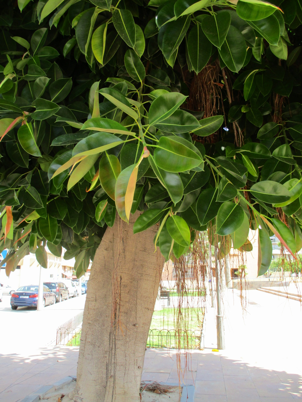 Ficus elastica - caoutchouc - Page 2 Diver181