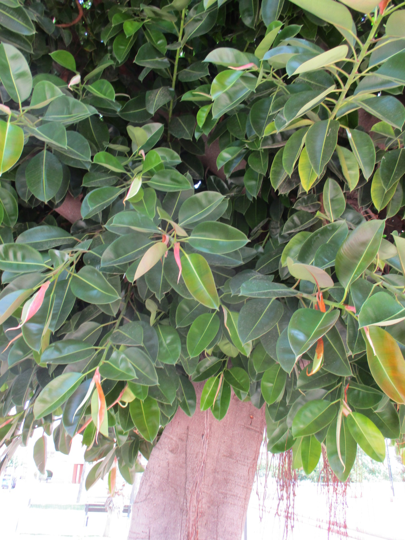 Ficus elastica - caoutchouc - Page 2 Diver182