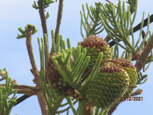 Araucaria heterophylla - pin de Norfolk - Page 2 Diver183