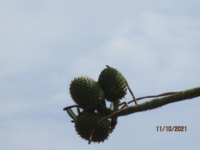 Araucaria heterophylla - pin de Norfolk - Page 2 Diver184