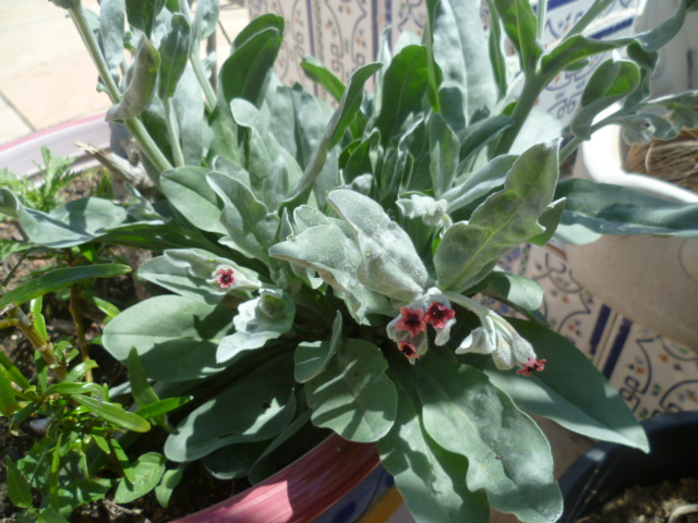 Cynoglossum cheirifolium [Identification] Divers15
