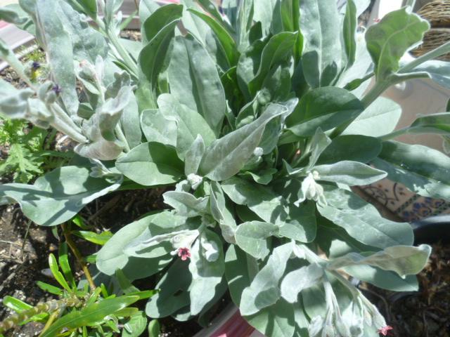 Cynoglossum cheirifolium [Identification] Divers16