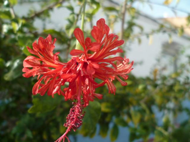 Hibiscus schizopetalus - hibiscus lanterne japonaise Divers52