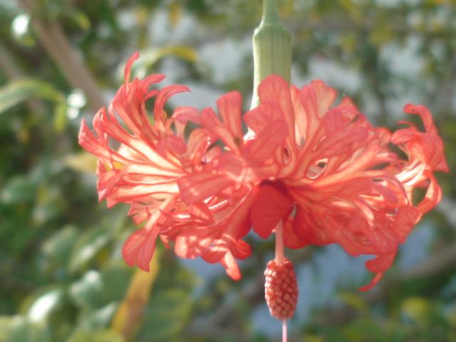 Hibiscus schizopetalus - hibiscus lanterne japonaise Divers53