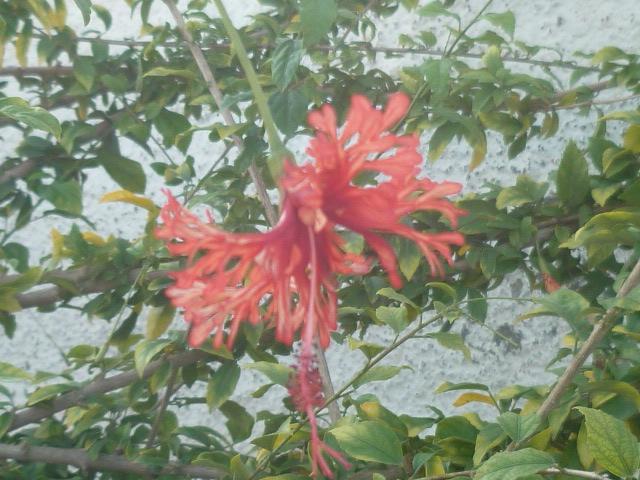 Hibiscus schizopetalus - hibiscus lanterne japonaise Divers54