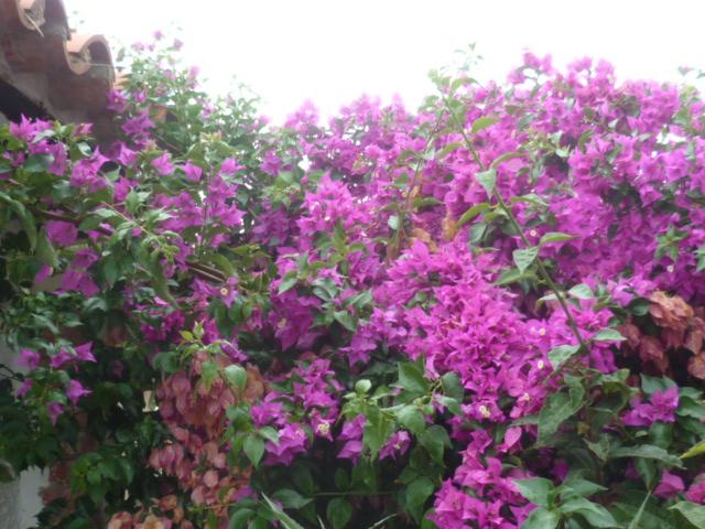 Bougainvillea - hybrides et cultivars Divers71
