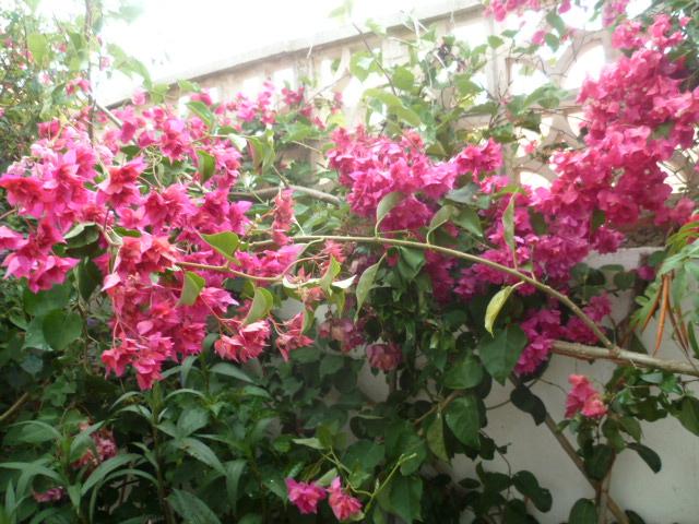 Bougainvillea - hybrides et cultivars Divers72
