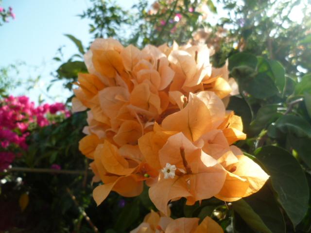Bougainvillea - hybrides et cultivars Divers73
