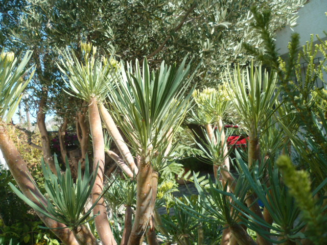 Kleinia neriifolia (= Senecio kleinia) - Page 3 Divers92