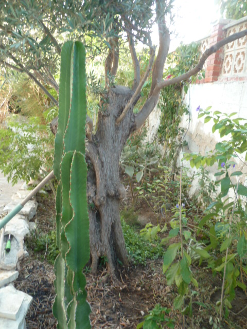 Euphorbia candelabrum Divers98