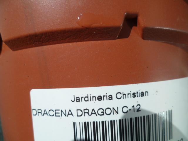 Dracaena draco - Page 3 Dracae12