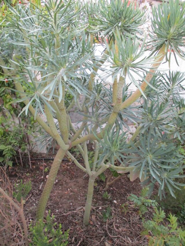 Kleinia neriifolia (= Senecio kleinia) - Page 3 Drago_16