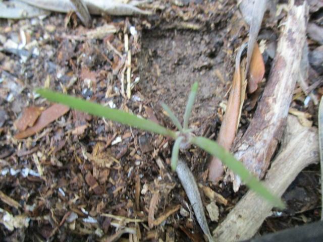 Kleinia neriifolia (= Senecio kleinia) - Page 3 Drago_18