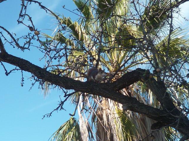 écureuil en visite journaliere - Page 2 Ecureu12