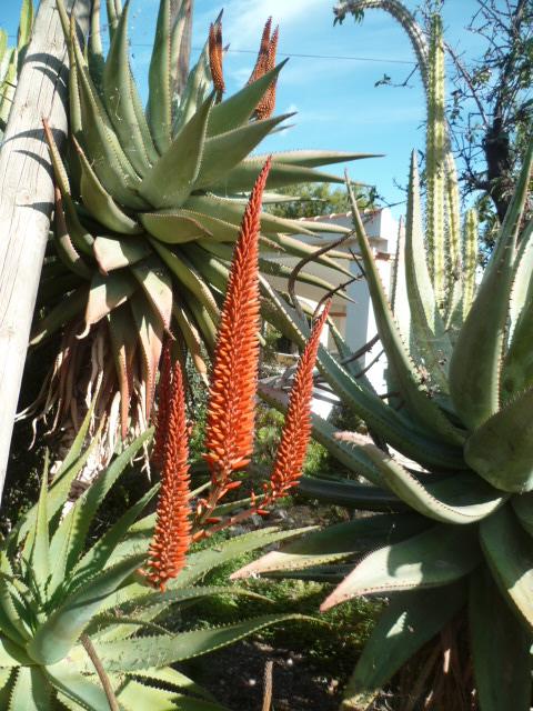 Aloe ferox Ecureu14