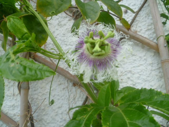 Passiflora - questions et conseils de culture - Page 6 Edulis10