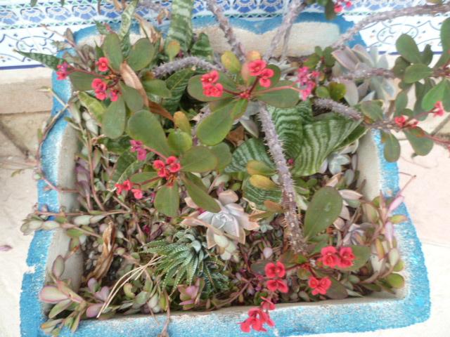 Euphorbia millii - Page 3 Epine_14