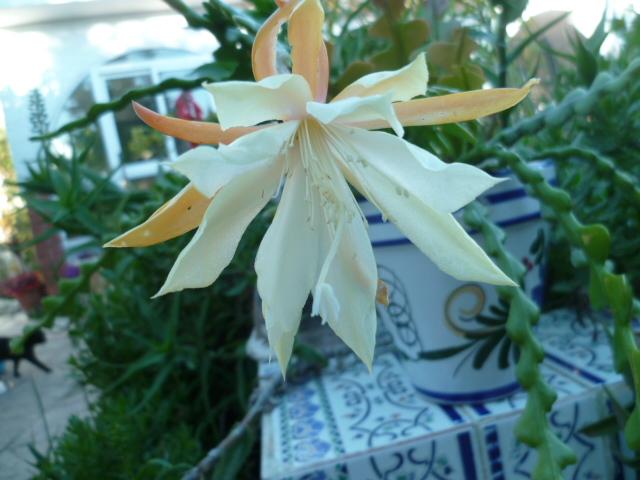 Epiphyllum anguliger - Page 3 Epiphi10