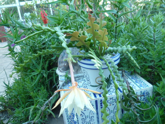 Epiphyllum anguliger - Page 3 Epiphi11