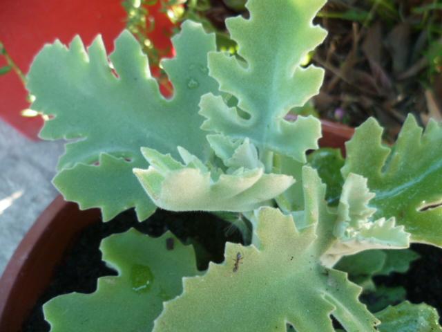 Kalanchoe 'Oak Leaf' Epiphi12