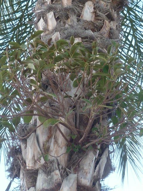 Phoenix dactylifera - palmier dattier - Page 3 Epiphy17