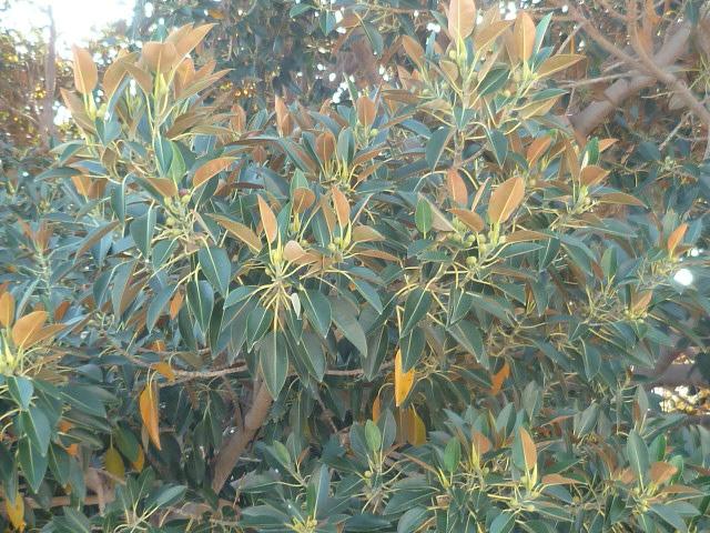 Phoenix dactylifera - palmier dattier - Page 3 Epiphy18