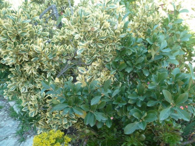 Euonymus japonicus - fusain du Japon Euonym10