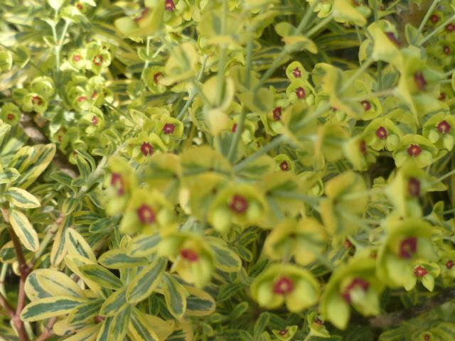 Euphorbia x martinii (amygdaloides x characias) - Page 3 Euphor10