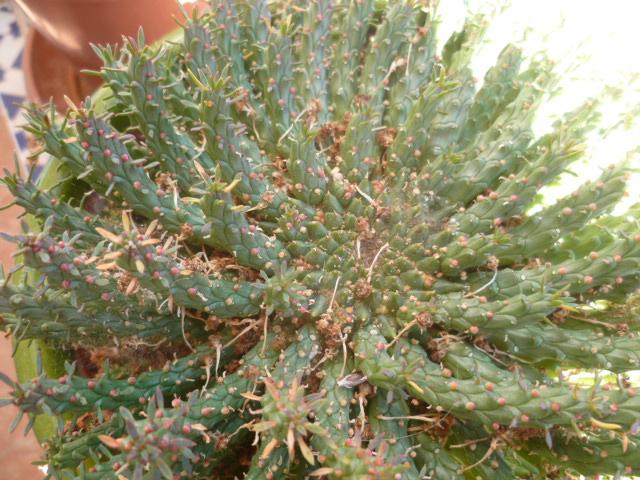 Une variété d'Euphorbe à identifier...Euphorbia Flanaganii Euphor17