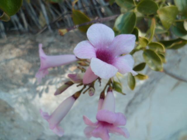 Pandorea jasminoides et Pandorea pandorana Euryop12