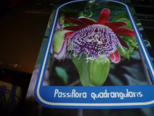 Passiflora quadrangularis et hybride x Decaisnea Fiche_10