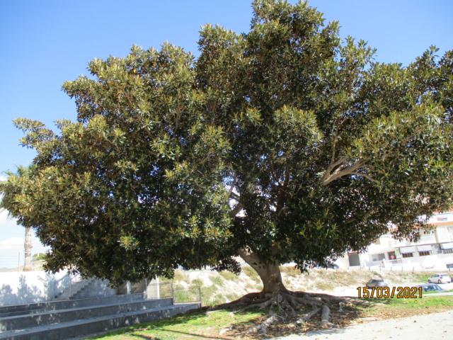 Ficus macrophylla Ficus_10
