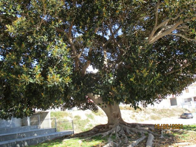 Ficus macrophylla Ficus_11