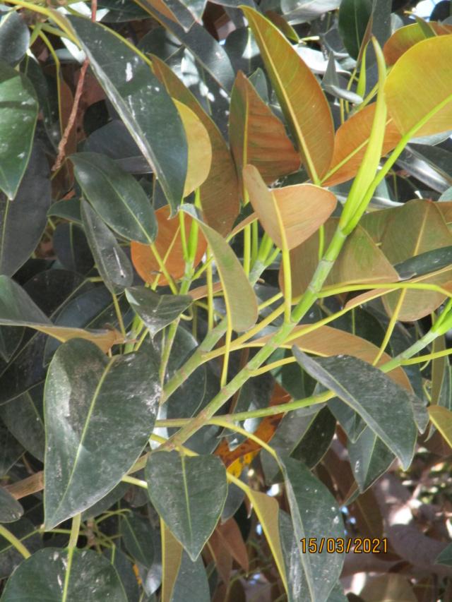 Ficus macrophylla Ficus_12