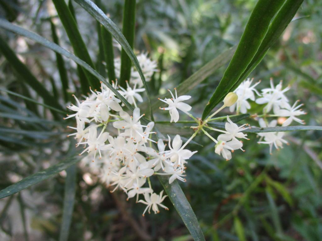 Asparagus falcatus  Fleur_16