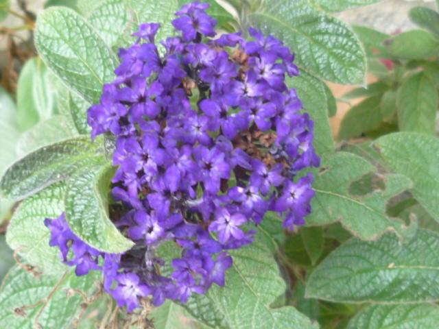 Heliotropium arborescens  Fleurs35