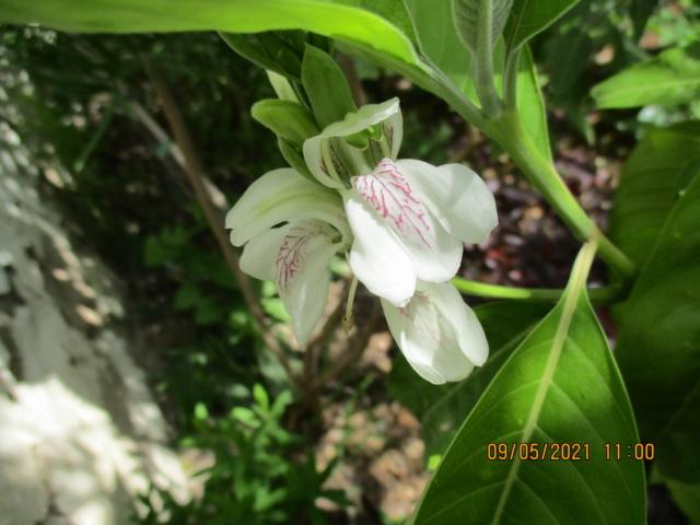 Justicia adhatoda (= Adhatoda vasica) - carmentine en arbre - Page 2 Florai29