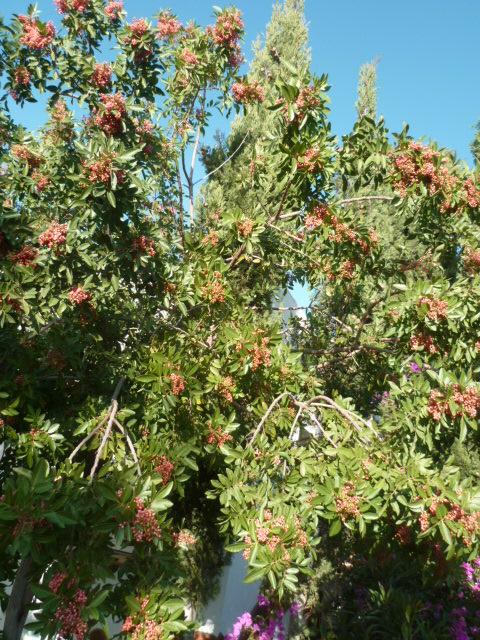 Pistacia terebinthus - pistachier térébinthe - Page 3 Flore_17
