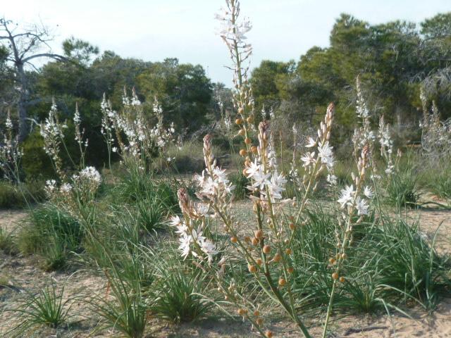 flore du littoral : plages, dunes, vases et rochers maritimes - Page 7 Flore_27