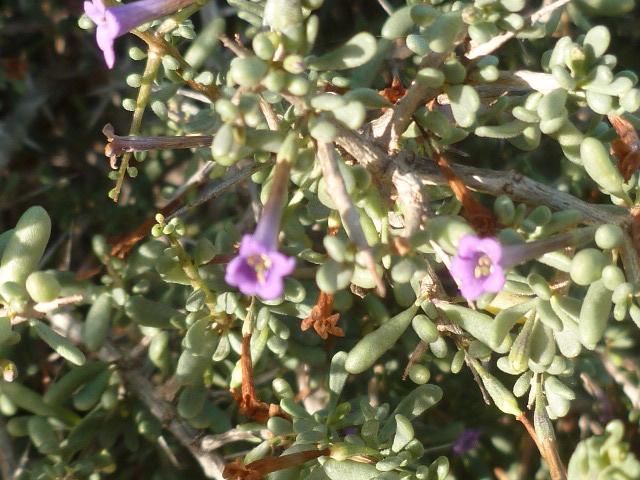 Plantes méditerrannéennes à identifier ou confirmer  Flore_33