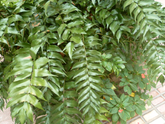 Identification plante = Cyrtonium falcata Fougzo18