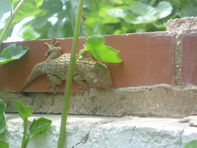 lézards et autres reptiles - Page 6 Gecko_10