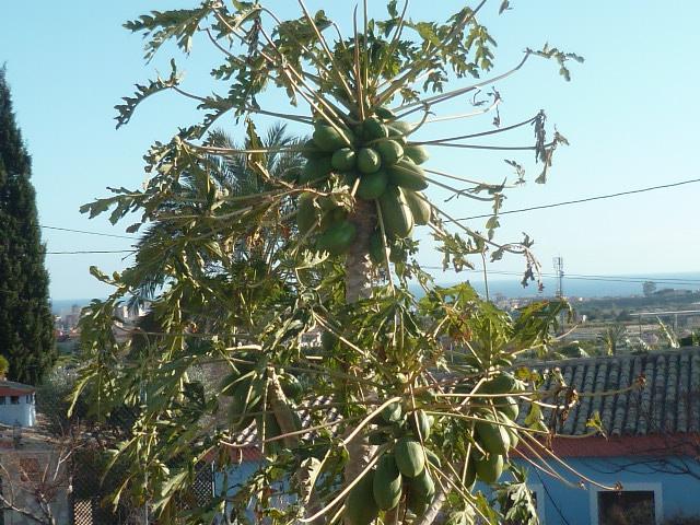 Carica papaya - papayer - Page 3 Goyavi10