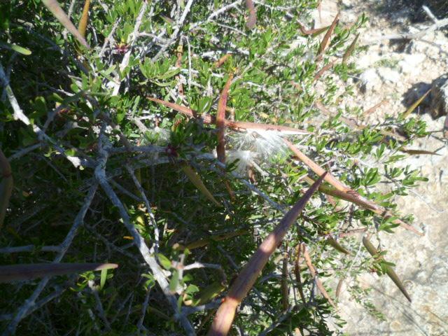 Periploca laevigata subsp. angustifolia Graine16